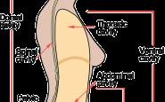 abdomen humano